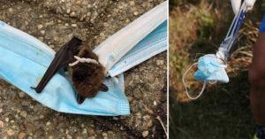 口罩新危機!小蝙蝠疑飛行時「誤撞陷阱」 慘被口罩纏成一團悲劇了