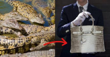 愛馬仕將設「鱷魚養殖場」養來做包包 專家背書:他們在做對的事