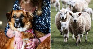 驚險車禍「狗狗從窗戶飛出」離奇消失!2天後被發現在「牧羊」