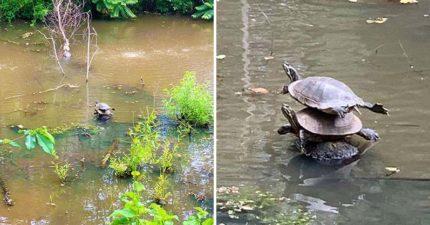 她散步巧遇「烏龜玩疊疊樂」!小短腿努力保持「完美平衡」❤